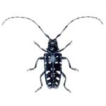 Asian Longhorned Beetle (150)