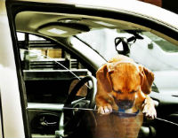 Dog in Car (200)
